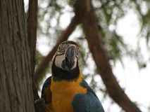 A Blue-and-Yellow Macaw Making Direct Eye Contact. A blue and yellow macaw also known as a blue and gold macaw is hanging onto a vine on a tree while looking stock photography
