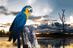 Blue and Yellow Macaw on the nature Stock Photography