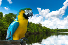 Blue and Yellow Macaw on the nature Royalty Free Stock Photo