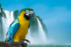 Blue and Yellow Macaw on the nature Stock Photos