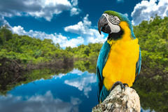 Blue and Yellow Macaw on the nature Royalty Free Stock Photos