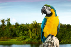 Blue and Yellow Macaw on the nature Stock Images