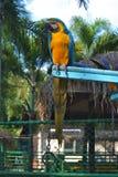 Blue and yellow macaw. Blue-and-yellow macaw in nong nooch tropical botanical garden stock photo