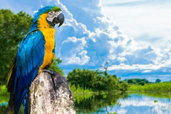 Blue and Yellow Macaw in Pantanal, Brazil.  Stock Photo
