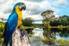 Blue and Yellow Macaw in Pantanal, Brazil Royalty Free Stock Images