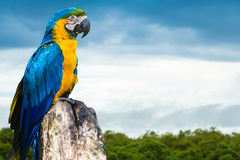 Blue and Yellow Macaw in Pantanal, Brazil Royalty Free Stock Photography