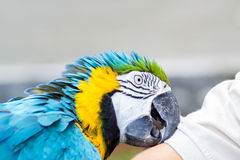 Blue and yellow macaw parot Stock Image