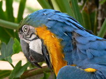 Blue and yellow Macaw parrot. Side portrait of blue and yellow macaw parrot outdoors Stock Images
