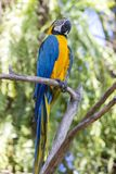 Blue and Yellow Macaw Parrot , Ara ararauna , also known as the Blue and Gold Macaw. Bali, Indonesia Royalty Free Stock Image