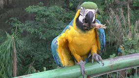 Blue and yellow Macaw Parrot - Ara ararauna in a zoo stock video