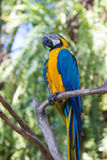 Blue and Yellow Macaw Parrot in Bali Bird Park,, Indonesia Stock Image