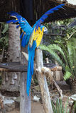 Blue and yellow Macaw Parrot with Clipped Stretched Wings Stock Photography