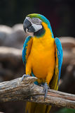Blue and Yellow Macaw Parrot , close up Royalty Free Stock Photo