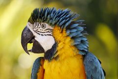 Blue and yellow macaw parrot, large colorful bird Stock Photo