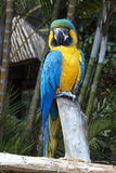 Blue and Yellow Macaw Parrot Perched on Branch Royalty Free Stock Images