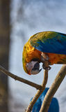 Blue and Yellow Macaw Parrot sitting on a brance Stock Photos