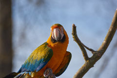 Blue and Yellow Macaw Parrot staring from a branch Stock Image