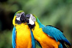 Blue and yellow macaw parrot stock photo