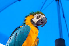 Blue-and-Yellow Macaw parrots Royalty Free Stock Photography