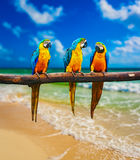 Blue-and-Yellow Macaw parrots on beach. Tropical vacation concept - three parrots Blue-and-Yellow Macaw Ara ararauna also known as the Blue-and-Gold Macaw on Stock Images