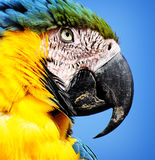 Blue & yellow macaw parrott Stock Image
