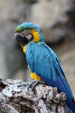 Blue and yellow macaw. A blue and yellow macaw perched on a dead tree Royalty Free Stock Photo