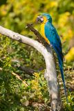 Blue-and-yellow Macaw - Ara ararauna. Native of South America, a captive Blue-and-yellow Macaw is perched on a branch eating a seed at the zoo. Toronto, Ontario stock photography