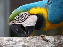 Blue and Yellow Macaw Picking at Wood royalty free stock photography