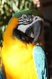 Blue-and-yellow macaw. A picture of a macaw Royalty Free Stock Photo