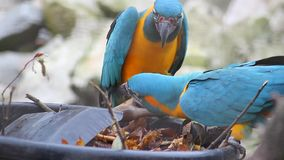 Blue and Yellow Macaw Playing. Two Beautiful Parrots (Blue and Yellow Macaw Playing) Playing With a Shovel and Flying Away stock video footage