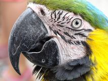 Blue and yellow macaw. Portrait of a blue and yellow macaw Royalty Free Stock Photography