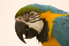 Blue and Yellow Macaw Portrait Royalty Free Stock Photo