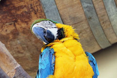 Blue yellow macaw. Pretty blue yellow macaw parrot Royalty Free Stock Photo