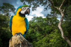 Blue and Yellow Macaw on rainforest Royalty Free Stock Photo