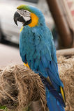 Blue and Yellow Macaw. A Blue and Yellow Macaw is resting Royalty Free Stock Photography