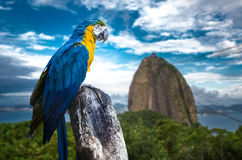 Blue and Yellow Macaw in Rio de Janeiro Stock Photography