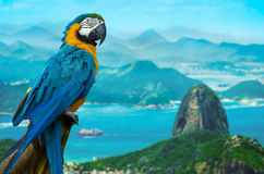 Blue and Yellow Macaw in Rio de Janeiro, Brazil Royalty Free Stock Photo