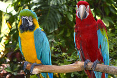 Blue & yellow macaw and a Scarlet macaw Royalty Free Stock Photo