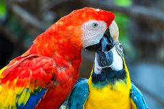A blue and yellow macaw share some special momment with a scarlet one royalty free stock photos