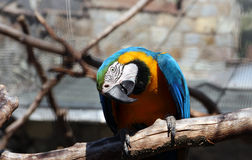 Blue yellow macaw Royalty Free Stock Images