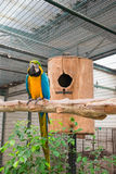 Blue-and-yellow macaw sitting on tree in front of the nest Stock Photos