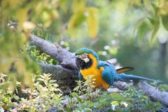 Blue-and-Yellow Macaw Parrot in Naturalistic Surroundings stock image