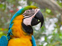Blue and Yellow Macaw, South America Royalty Free Stock Photo