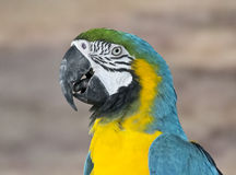 Blue Yellow Macaw South American Parrot Stock Image