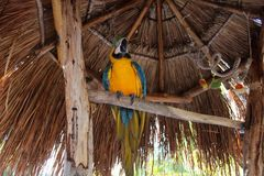 Blue and yellow macaw standing in the shade. Of parasol stock photography