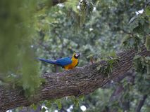 Blue-and-Yellow Macaw Standing On Tree Limb. A blue-and-yellow macaw, also known as a blue-and-gold macaw, is sitting on a large tree limb. The blue and yellow royalty free stock images