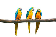 Blue-and-Yellow Macaw talking stock photos