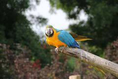 Blue-and-yellow macaw on tree trunk royalty free stock image