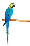 Blue-and-yellow macaw on white background Stock Photos