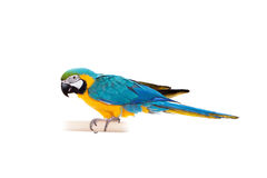 Blue and Yellow Macaw on the white background Royalty Free Stock Photography